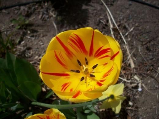 Beautiful Blooming Tulip