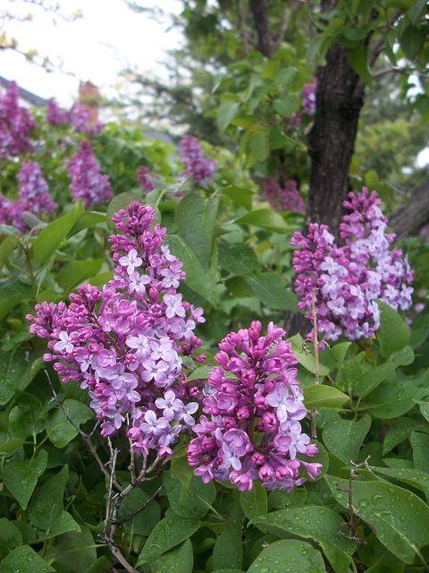 Blooming Purple Flower Bush