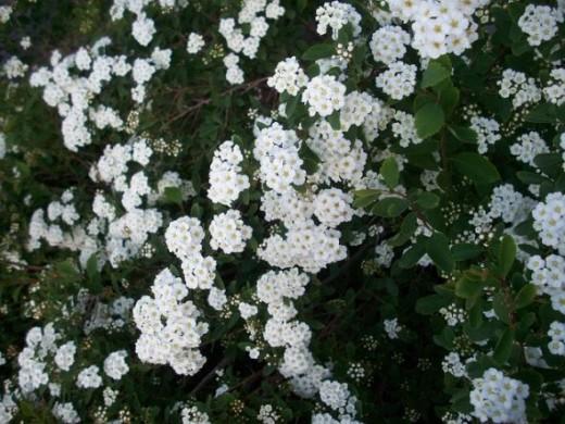 White Flowery Bush