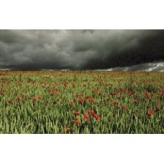 Field of poppies set against a darkening sky.