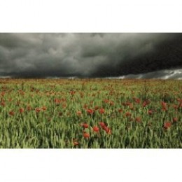 Field of poppies set against a darkening sky.