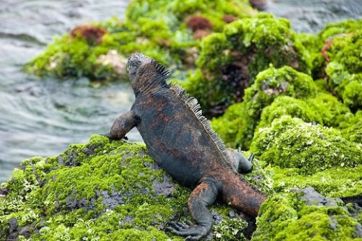 Marine Iguana at the Galapagos Islands Picture by abmiller99