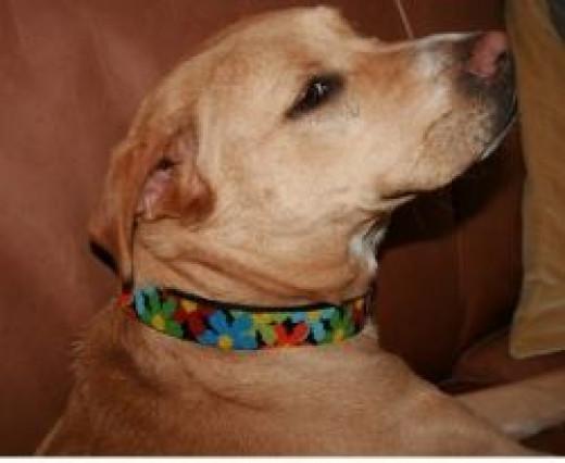 Lulu in her new beaded dog collar
