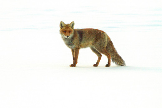 Fox in the Snow - Used under Creative Commons