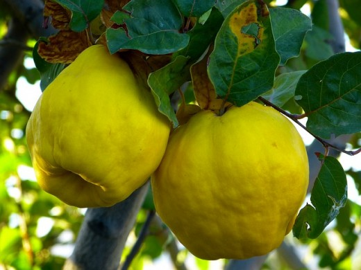 Image credit: http://pixabay.com/en/quince-fruit-plant-journal-tree-65185/
