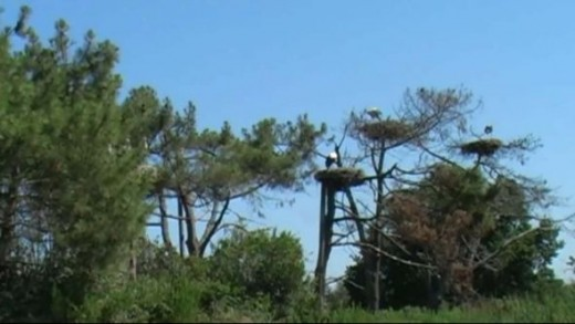 Storks Nesting at Parc Ornithologique, France