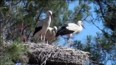Three storks in their nest