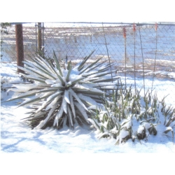 Aloe Vera Blooming Christmas 2004 in Freer, TX