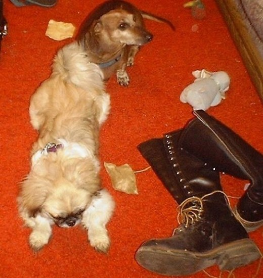 Sheeba and Angel Dog in Virginia, Illlinois with their rawhide chews and Sheeba's stuffed animal.