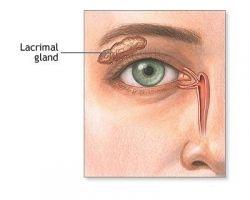 Lacrymal gland