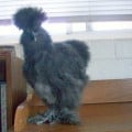 My Pet Chicken: Sweet Tweets
