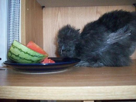 Silkie Hen Eating Watermelon