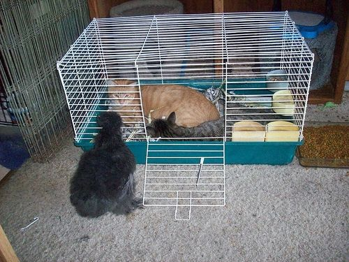 Cat or Chicken Cage