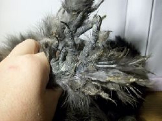 Silkie Feathered Feet