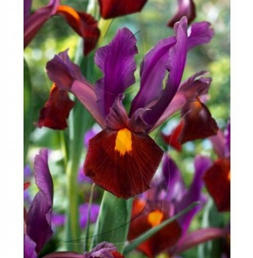 Red Ember Iris (available via Amazon.com)