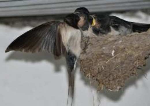 House Martin Feeding Young