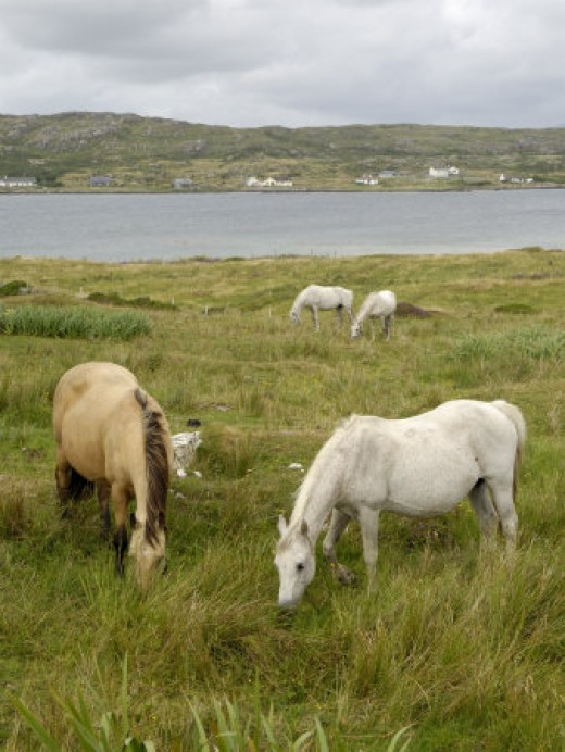 Connemara Ponies, County Galway, Ireland