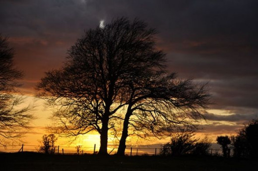 beech trees at sunset