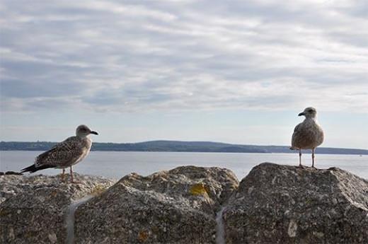 Seagulls awaiting scraps