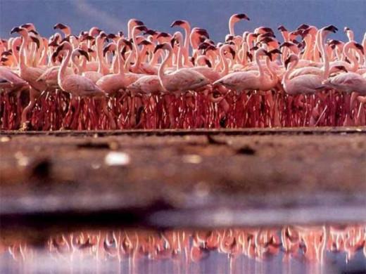 Flamingoes on Lake Nakuru