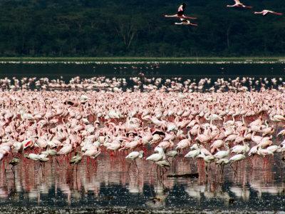 Flamingos, Lake Nakuru National Park