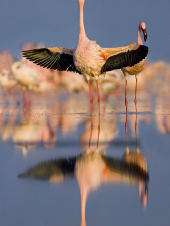 Lesser Flamingo Wading in Water