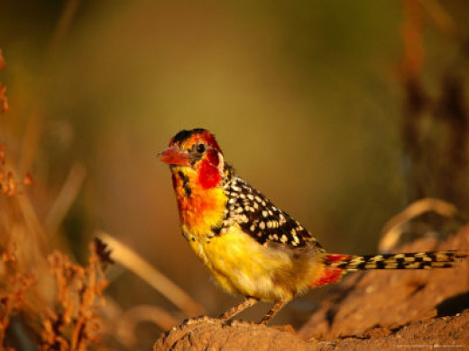 Male Red-And-Yellow Barbet