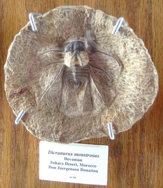 Devonian trilobite in the trilobite display