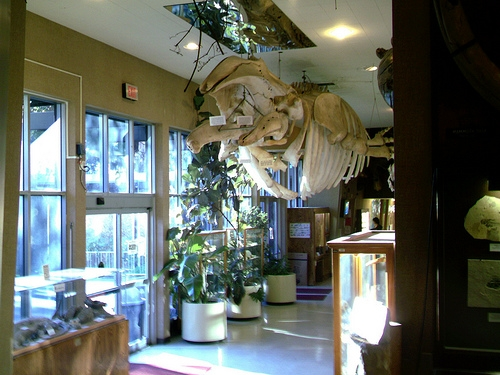 Complete grey whale skeleton prepared completely by Sierra College students and teachers