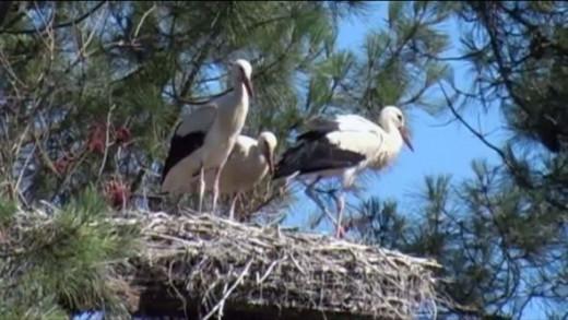 Nesting Storks in France
