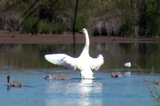 Swan flapping its wings