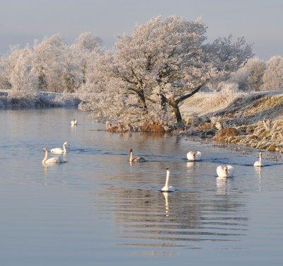 Swans on an Irish River
