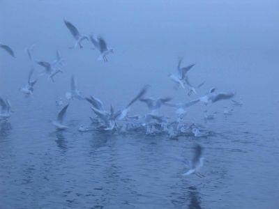 Seagulls in Morning Mist
