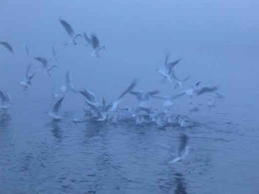 Seagulls in Morning Mist