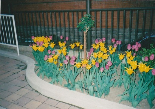 The Flowers outside the Elm st. entrance of 'my' hotel the Delta Chelsea