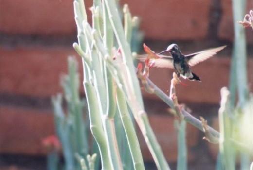 Broad-billed Hummingbird. Cynanthus latirostris.