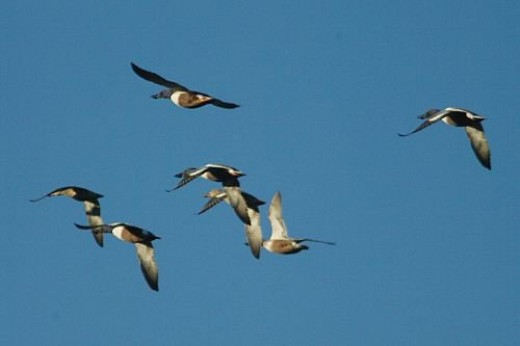 All but the last photo are of Northern Shovelers. Anas clypeata. I promise to find some Mallards when I have time.