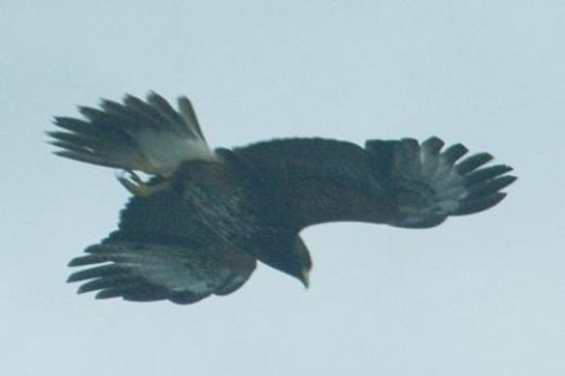 Harris's Hawk. Parabuteo unicinctus. It was almost dark.