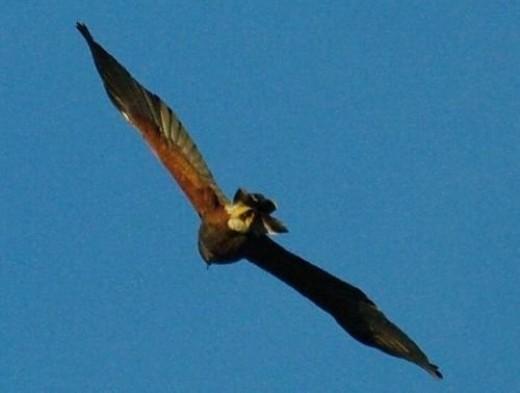 Harris's Hawk.