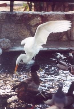 Great Egret fishing. Ardea alba.