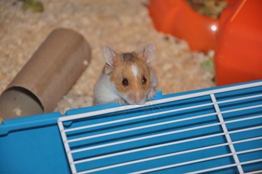 The Peeping Ham