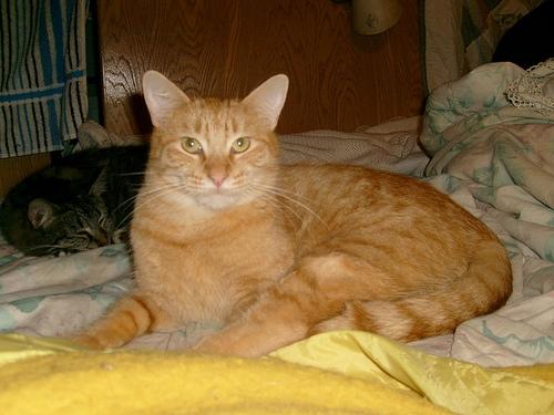 An orange tabby named Mendicino