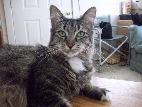 Longhaired tabby cat, Trinity