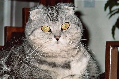 Attractive Silver Tabby Scottish Fold