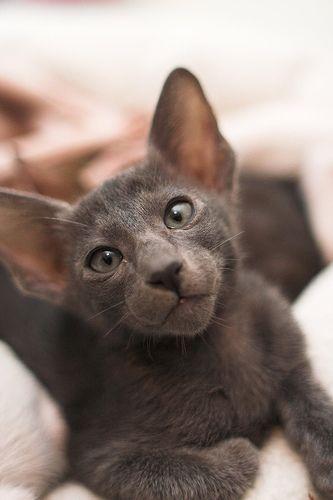 Oriental Shorthair Cat Picture