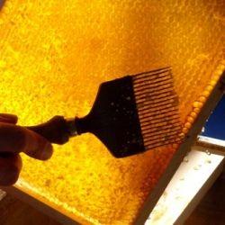 Extracting honey from beeswax honeycomb.
