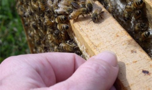 Beekeeper handles a hive frame of honey bees.