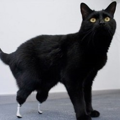 Oscar, the Bionic Cat