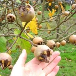 My Medlars growing on my medlar tree