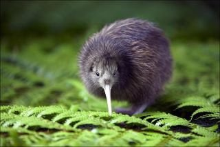 a cute  Kiwi -New Zealand